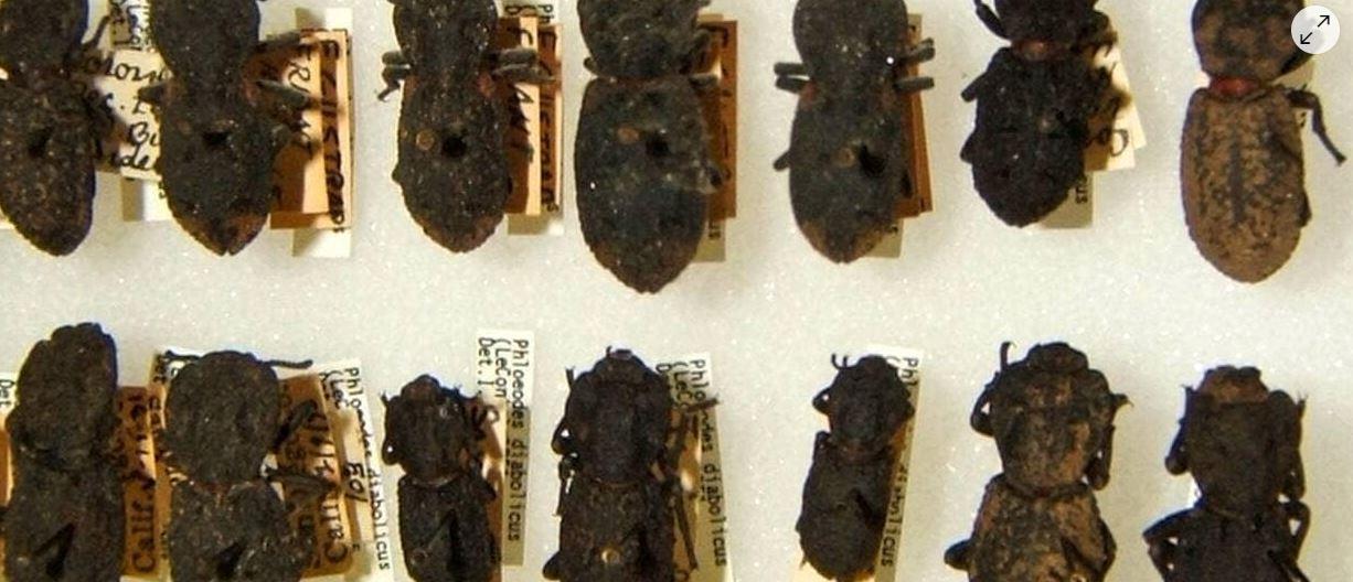 Même une voiture ne peut pas l'écraser : les secrets du scarabée indestructible dévoilés
